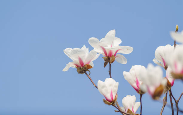 2237964-spring-flowers-series-white-magnolia-flower-with-blue-sky-background